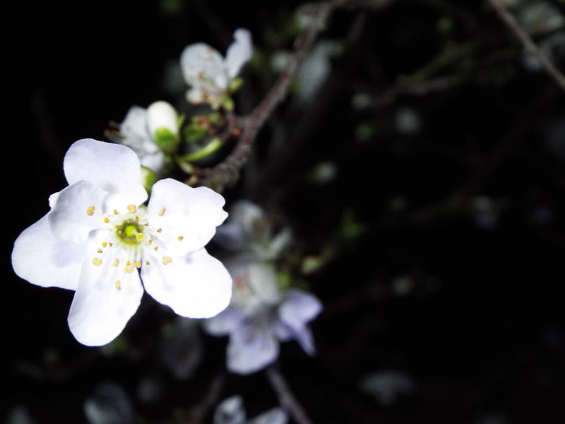 Flower Flowers,Plants & Garden Floral Night Nightphotography White Flower Night Vision Night View Focus On Foreground Plant Beauty In Nature Tree