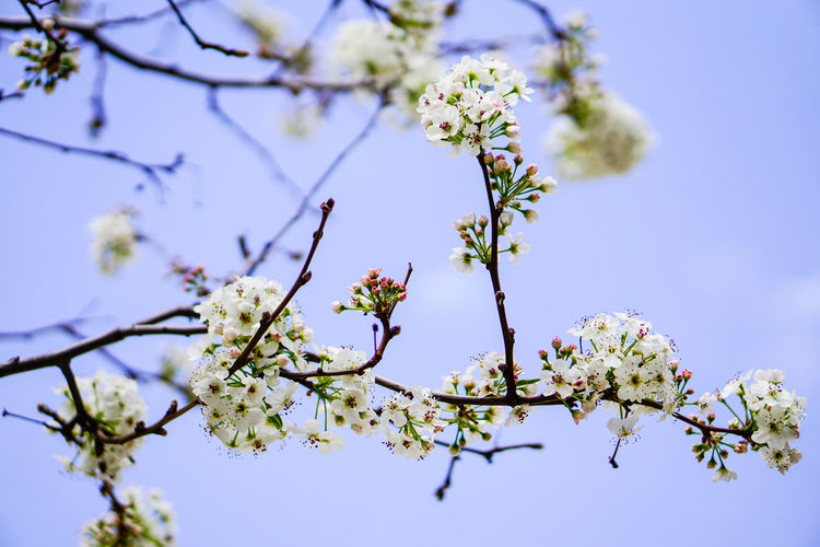 Springtime Flower Tree Blossom Branch Growth Beauty In Nature Almond Tree Sky Close-up Outdoors Fragility Freshness Flower Head Day Beauty In Nature Petal Passion Flower Freshness Blooming Plant Apple Blossom Apple Tree White Color Orchard Botany Twig Low Angle View Stamen Plum Blossom