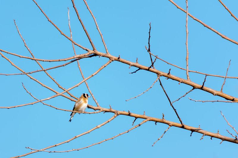 Finch Animal