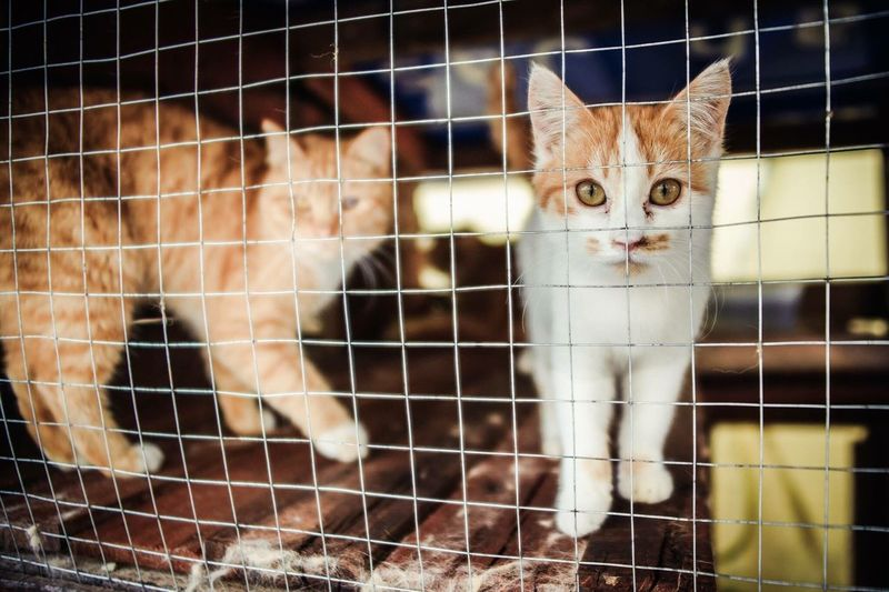 Domestic Cat Feline Pets One Animal Looking At Camera Domestic Animals Animal Themes Portrait Mammal No People Cat Pet Portraits Cat♡ Backgrounds Backdr Whisker Cage Day Close-up