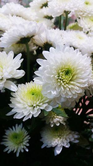 MyClick Myshop Flowerjob ILoveMyJob Chrysanthemum Iwantjob