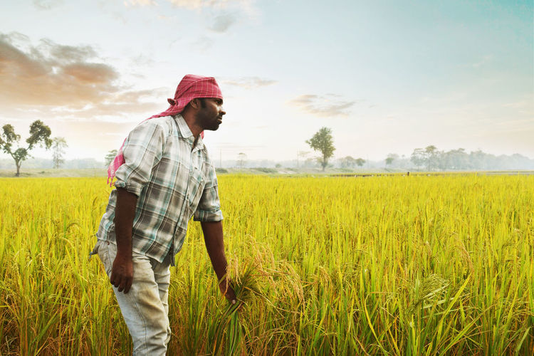 Farmer holding rice paddy plants at agricultural field