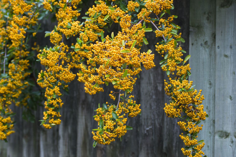 Close-up of yellow flowering plants hanging from tree