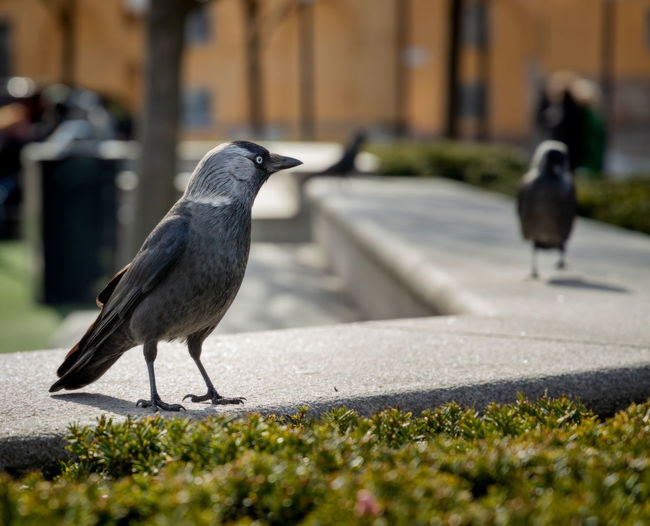 jackdaw Urban Wildlife City Wildlife Close-up Outdoors Grass Nature Crow No People Focus On Foreground Day Selective Focus Perching One Animal Animal Wildlife Animals In The Wild Vertebrate Animal Themes Animal Bird Jackdaw