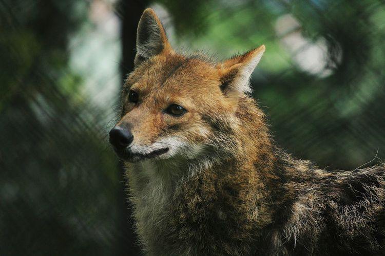 Close-up of coyote looking away