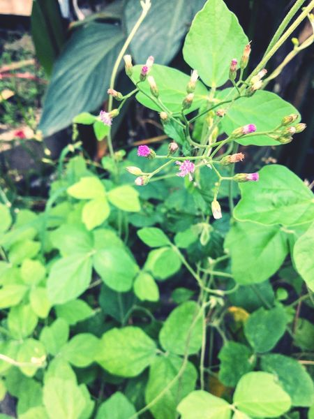 Growth Leaf Plant Green Color Nature Outdoors Fragility Freshness Day Beauty In Nature No People Close-up Flower Blooming Flower Head Wideflower Puple Pupleflowers Rural Green Green Leaves Plant Nature