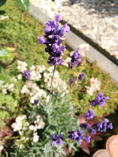 Stand up! Lavender