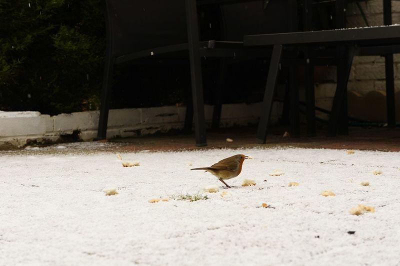 Little robin in