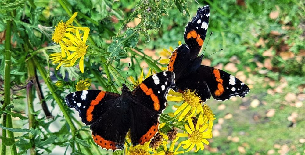 Butterflies And Flowers Butterfly - Insect Insect Animal Markings Nature Fragility Beauty In Nature Insects Of Eyeem Butterfly Collection Red Admiral Butterfly Beautiful Butterflies