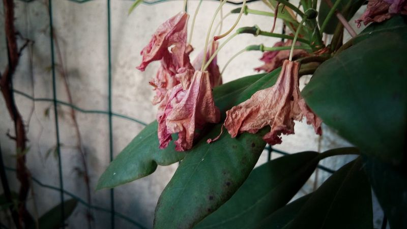 After Bloom Rotten After The Date Flowers Rododendron Backyard Home Slovakia Pezinok Nature