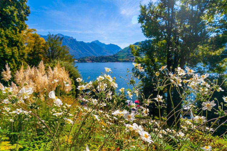 Lansdscape of lake of como from garden of villa carlotta, lombardy, italy, with trees and flowers