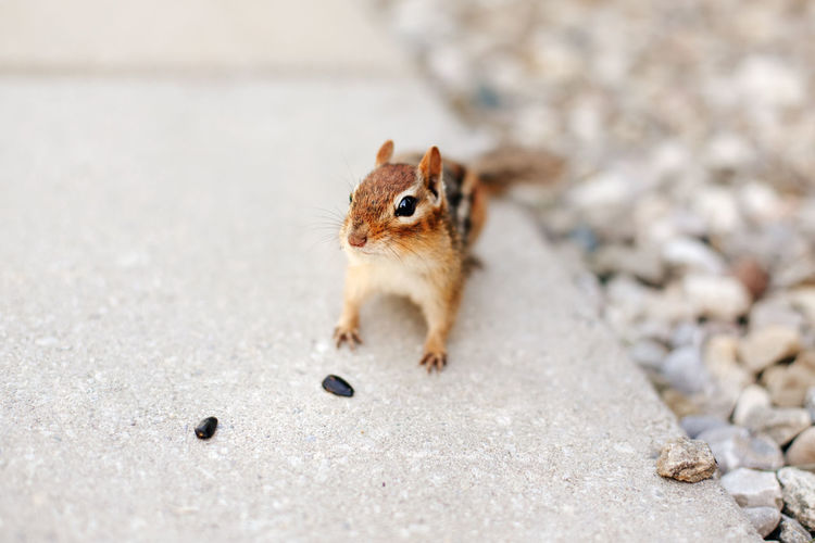 Cute small striped brown chipmunk eating sunflower seeds. wild animal in nature outdoor.