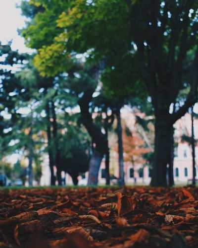 Tree Nature Growth Outdoors Autumn Leaf Beauty In Nature Autumn Colors Autumn Autumn Leaves Garden Hugging A Tree WoodLand Taking Photos Green Color VSCO Vscocam EyeEm Nature Lover Eye4photography  Landscape Fresh Air Hello World Check This Out