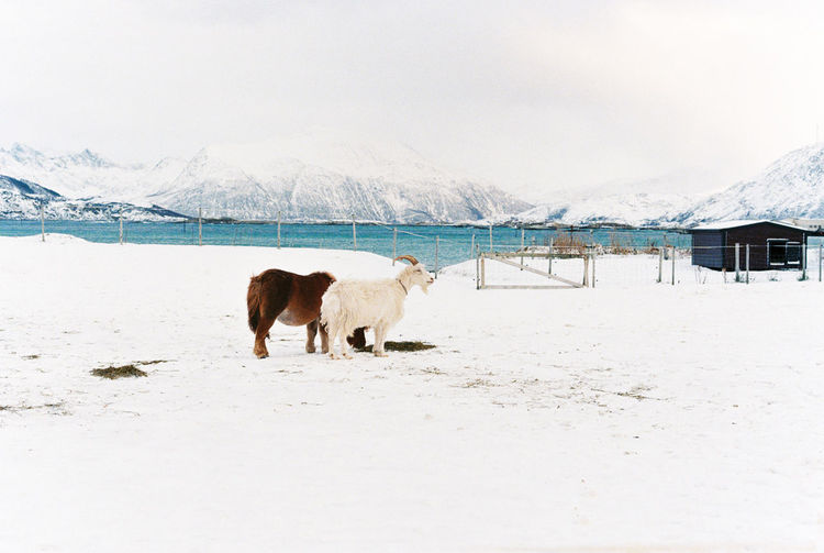 View of sheep on snow covered landscape