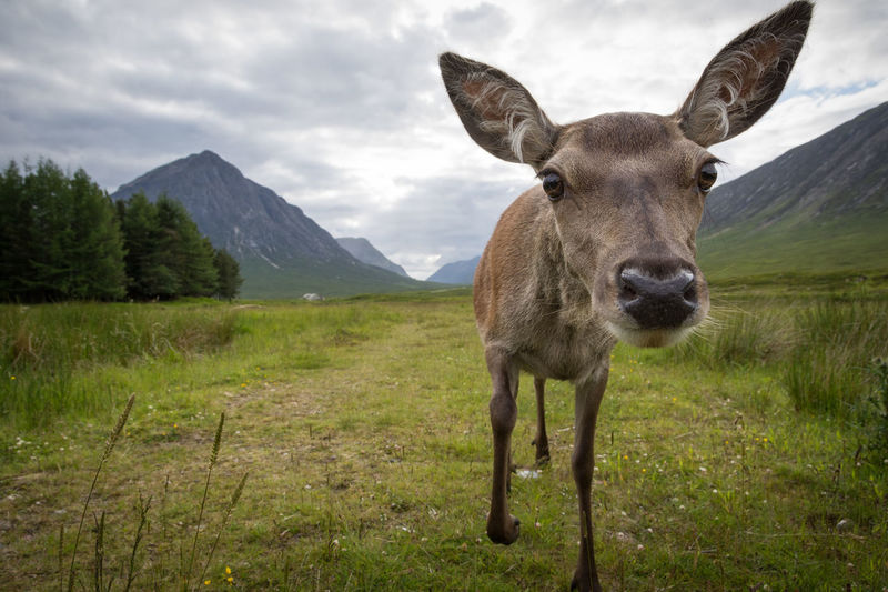Female deer curious of the camera Deer Wildlife Nature Scotland Landscape Portrait Cute Funny Wild Livestock Mountains Iconic Famous Countryside Rural Uk Glencoe Looking Curious One Animal Looking At Camera Outdoors Animal Themes No People Standing