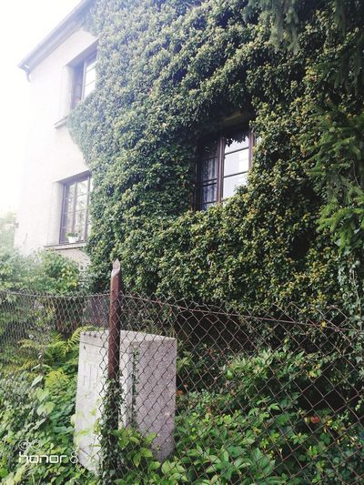Tree Ivy Window Architecture Building Exterior Sky Grass Built Structure Close-up Plant
