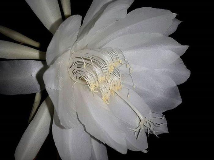 The Bhrama Kamal Saussureaobvallata Bhramakamal Bliss White Flower Of God Bhrama Like4like Love Click Urban Nature Awesome Photooftheday