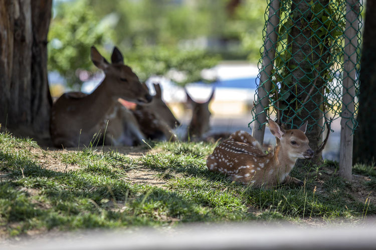 Deer Relaxing On Field At Songdo Central Park