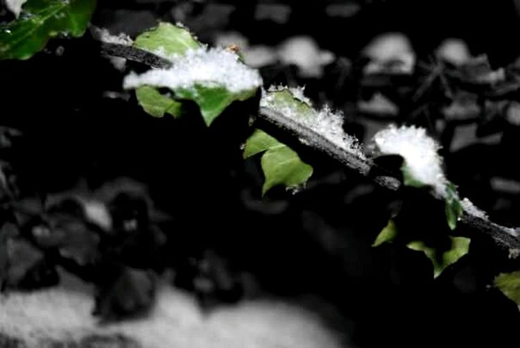 Snow Dusted Ivy Late Night Wandering Natural Beauty Nature