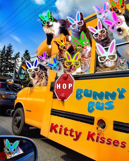 "Remember this one in which the kitties ""borrowed"" a school bus in aid of tossing and egg hunt for the local kittens and puppies? And then spent the day driving up and down our 2-block main drag hanging out the windows hooting hissing and howling – all the while tossing treats, catnip, dog bones, and mousie toys out the windows? (Oh yes they did!) And when pulled over by the Bellingham Pawlice, instead of being tossed in the paddy wagon the now derilect pawfficers hopped on the bus and joined our precocious pawty! This was the only occasion that I'm aware of in which Mel actually got the long paw of law in trouble with him... but boy howdy the youngun's had a swell time, who cares about an egg hunt? As usual, they were all released under my recognizance, including the not-so-arresting pawfficers. Let's hope they do better this year! Tadaa Friends Caturday Cat Tadaa Community Pocket_family Catsofinstagram Tadaa Pocket_tadaa Pocketgraphy Tadaakitties Cat Lovers Cats Of EyeEm Ilovemycat Tadaa Family Pets Corner Just Smile  Kitty Kitty World Tour Dogs Of EyeEm Tadaa Kitties"