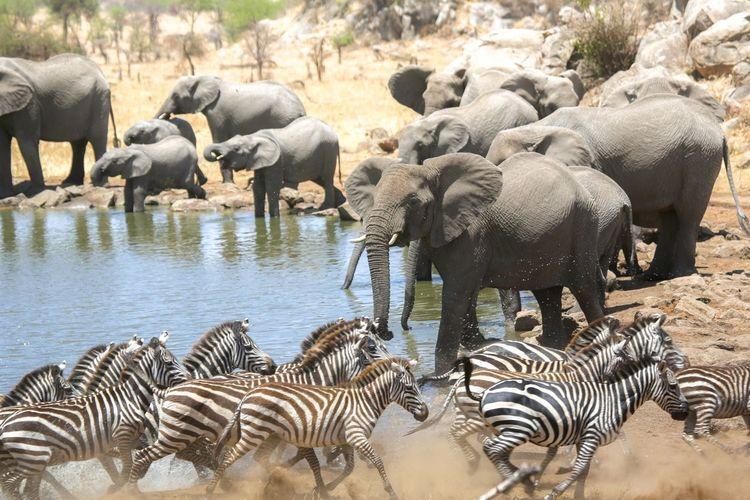 Elephants And Zebras By Pond