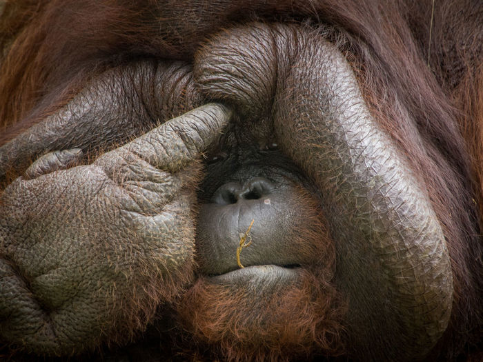 Close-up face of an orang utan pointing his finger to his fat