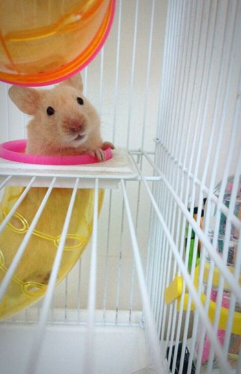 Cage Cage Animal Themes Pets One Animal Vertical Indoors  Domestic Animals No People Hamster Mammal Close-up Day Hamster Love Hamstergram