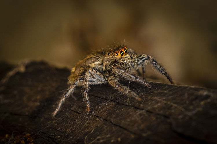 Macro-photo of a jumpping spider on wood