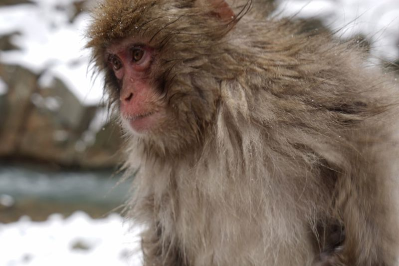 Snow Monkey Japanese Macaque Animal Themes Mammal Animals In The Wild Monkey No People Outdoors Nature Close-up Day Snowmonkey Snowing Hot Spring Child Monkey Eyes Cold Temperature Winter 12daysofeyeem Nature Portrait Finding New Frontiers Animal Wildlife