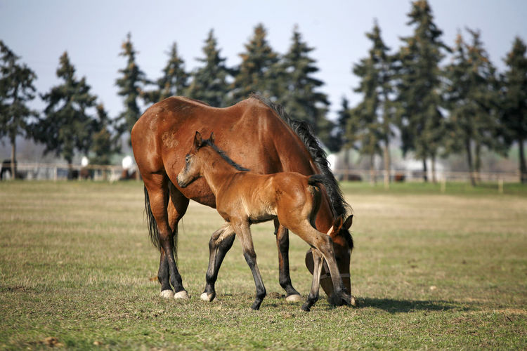 Beautiful thoroughbred mare and foal grazing and playing together at rural equestrian farm. Mare with few weeks old foal on pasture close-up Domestic Animals Animal Themes Mammal Vertebrate Day Animal Farm Ranch Life Thoroughbred Horses Stallion All The Way. Everyday All Day!! Baby ❤ Creature Curiosity Together Forever Beautiful Nature Filly Cold Temperature Foal In Field Foals In Field Green Green Green!  Pine Tree Riding The Train Mare ❤