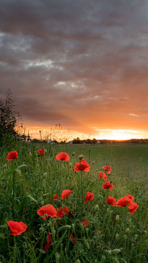 Beauty In Nature Cloud - Sky Environment Field Flower Flower Head Flowerbed Flowering Plant Fragility Freshness Growth Land Landscape Nature No People Outdoors Plant Poppy Red Sky Sunset Switzerland Tranquility Vulnerability