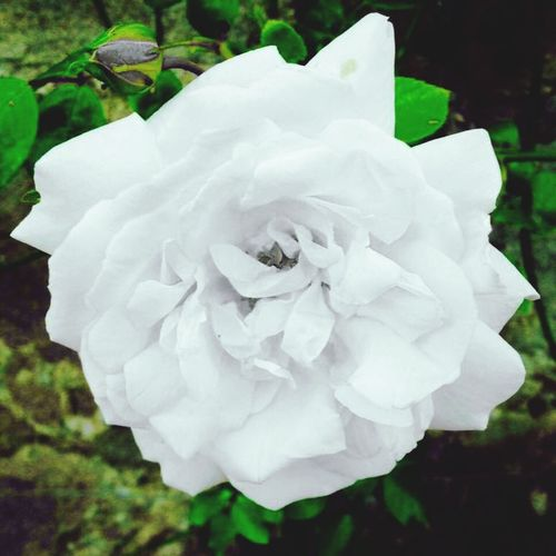 Flowers Artistic Rose♥ Nature Beautiful Cottage Rose Scottish Countryside Cottage Life Country Living Nature On Your Doorstep