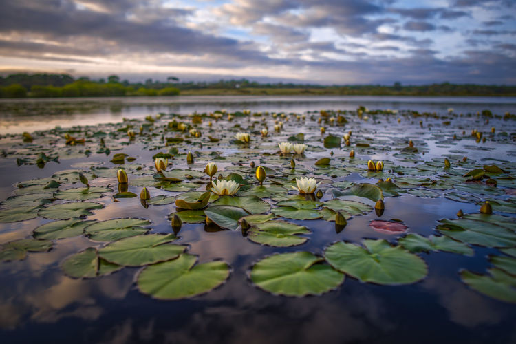 Lotus water lily in lake against sky