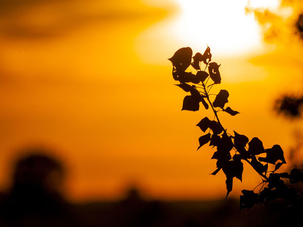 Dramatic Sky Nature Orange Orange Sky Sunset Silhouettes Sunset_collection Beauty In Nature Environment Forest Growth Leaf Leaves Nature No People Outdoors Poplar Poplar Tree Populus Populus Nigra Scenics Silhouette Sky Sunset Tranquility Tree