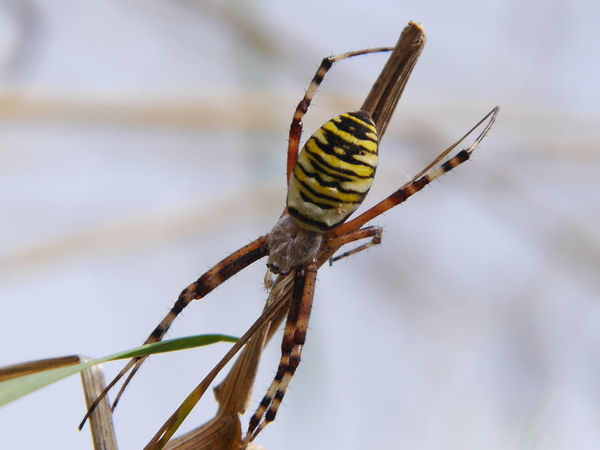 wasp spider...... EyeEm Nature Lover Our Planet Macroclique The Environmentalist – 2014 EyeEm Awards