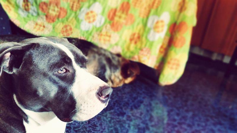 Pitbull Pitbull Blue Cute Pets Pets Perras Mascotas