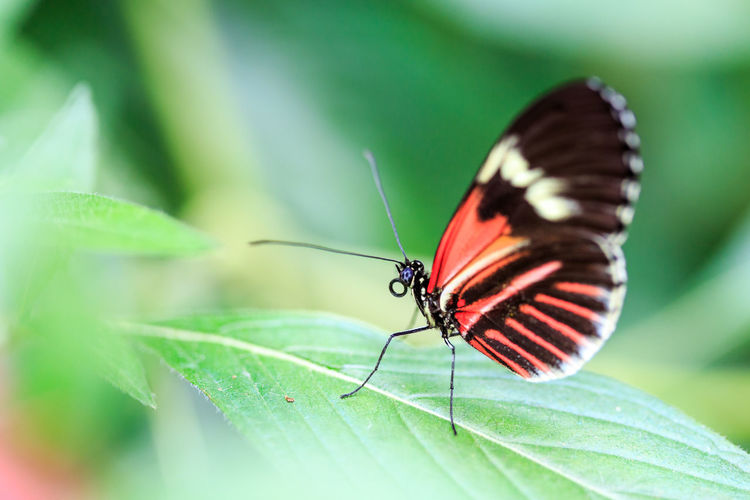 Heliconius Melpomene Mariposa Animal Themes Animal Wildlife Animals In The Wild Beauty In Nature Butterfly Butterfly - Insect Close-up Day Fragility Freshness Green Color Growth Insect Leaf Lepidoptera Mindo Nature No People One Animal Outdoors Red Spread Wings