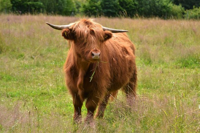Animal Hair Animal Themes Brown Cow Domestic Animals Field Grass Highland Cattle Hochlandrinder Mammal Nature No People Outdoors Rind