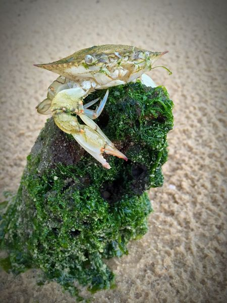 Crabby Crab Just Hanging Around Beach Critters Summertime Fun Live For The Story