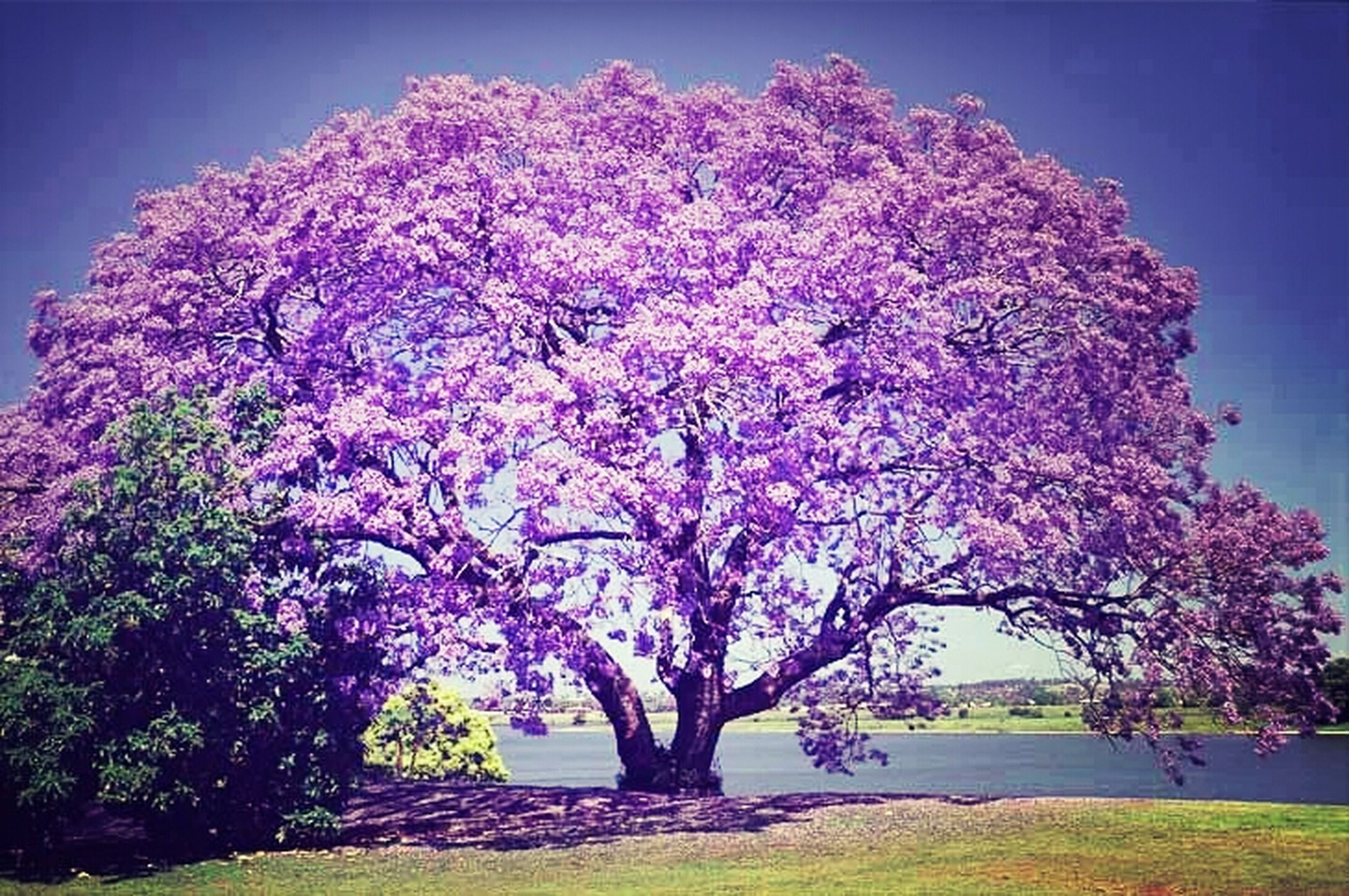 tree, flower, beauty in nature, growth, nature, tranquil scene, tranquility, branch, scenics, sky, pink color, blue, clear sky, freshness, grass, sunlight, blossom, day, field, outdoors