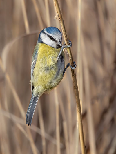 Bluetit, hanging on reed at marshland. Animal Themes Animal One Animal Vertebrate Animals In The Wild Bird Animal Wildlife Perching Bluetit Focus On Foreground Close-up No People Day Twig Outdoors Nature Songbird  Branch Plant Yellow Bluetit Feeding On Reed Hanging Out Weymouth