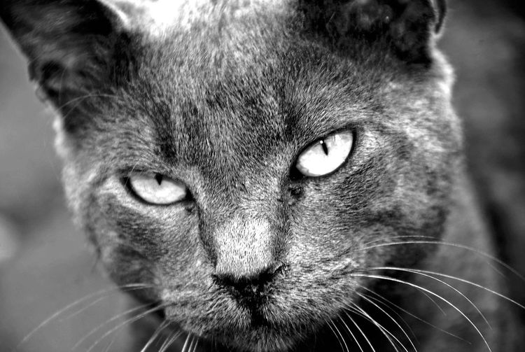 Portrait One Animal Looking At Camera Close-up Mammal Feline Animal Themes Outdoors No People Cats Cat Lovers