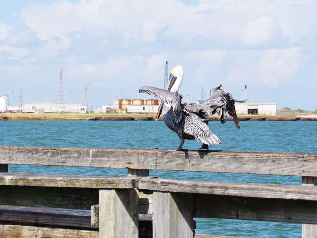 Bird Animal Themes Spread Wings Animals In The Wild Sky Flying One Animal Pelican Animal Wildlife Water No People Sea Outdoors Day Wooden Post Nature Gray Heron Port Aransas Texas