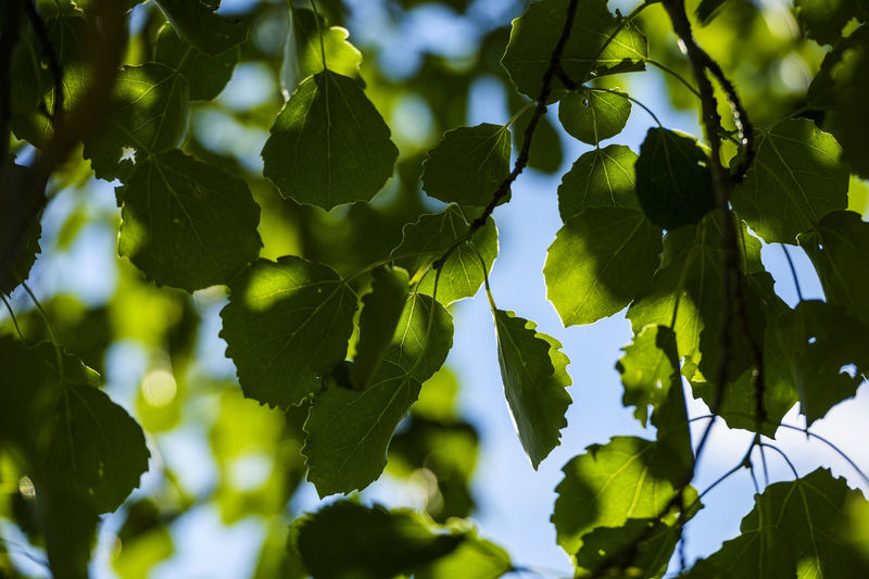 Low angle view of green leaves on tree against sky