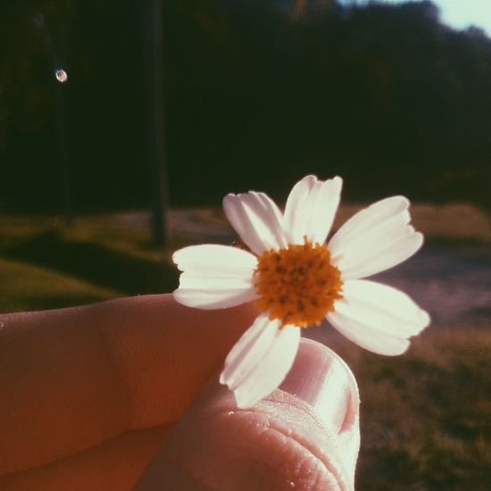 People And Places brasil Flower Flower Head Pollen Nature Focus On Foreground Botany Brasil Flower Person Freshness Holding Fragility Flower Head Petal Part Of Close-up Single Flower Personal Perspective Beauty In Nature Stamen Focus On Foreground Daisy Bloom Nature