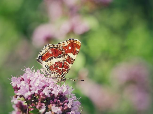 Map Butterfly Butterfly Insect Animals Animals In The Wild Macro Close-up Outdoors Flower Exceptional Photographs Fragility Animal Themes Beautiful Nature EyeEm Best Shots Check This Out Pattern, Texture, Shape And Form EyeEm Nature Lover Pollination Taking Photos Nature