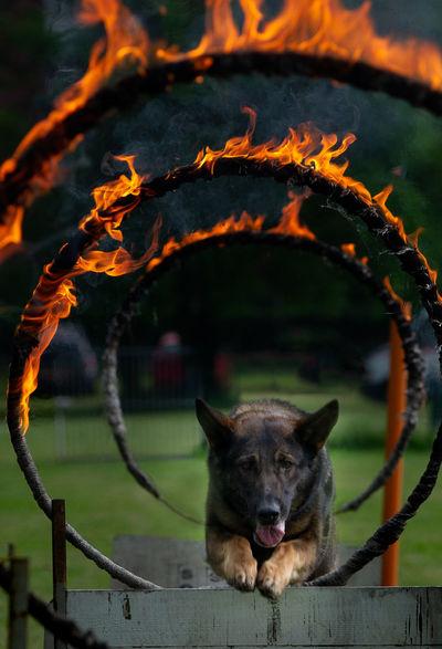 Jump Agility Dog Circle Of Fire Dog Fire Training Dog Wolf Work Dogs