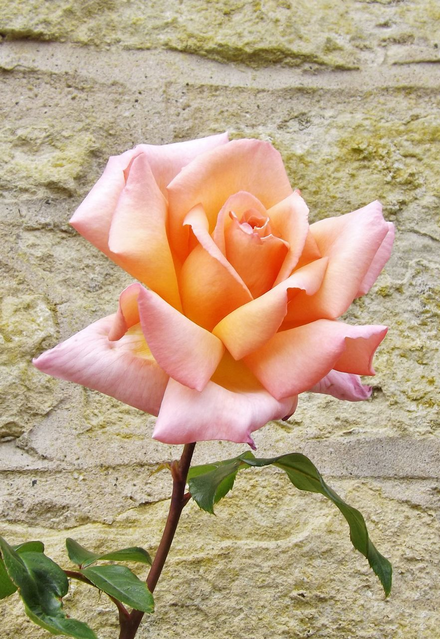 fragility, flower, nature, petal, beauty in nature, no people, plant, day, outdoors, flower head, close-up, rose - flower, freshness