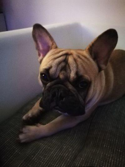 Frenchie on the coach #leavemealone #sleepyface #dontdisturb #Frenchie Pets Portrait Dog Looking At Camera Bulldog Puppy French Bulldog