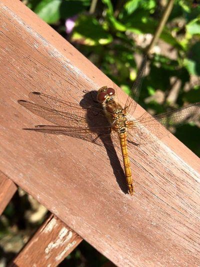 Dragon fly on Brownsea Island Dragonfly Dragon Fly Brownsea Island Brownseaisland Nature Photography Nature Insect Insect Photography